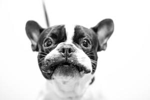 Die Französische Bulldogge ist sehr begehrt bei Rentner und Senioren.