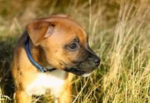 Hundewelpen stubenrein bekommen - So bekommen Sie Hunde-Welpen stubenrein
