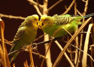 Kanarienvögel für Rentner und Senioren.