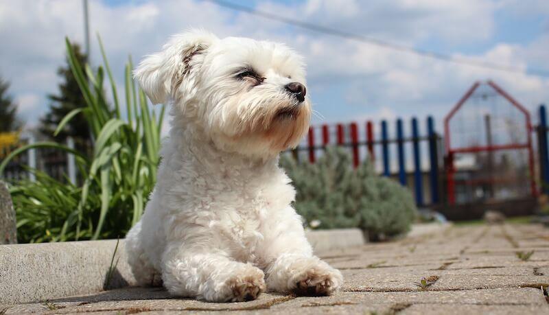 Senioren und Rentner - Hunderasse Malteser