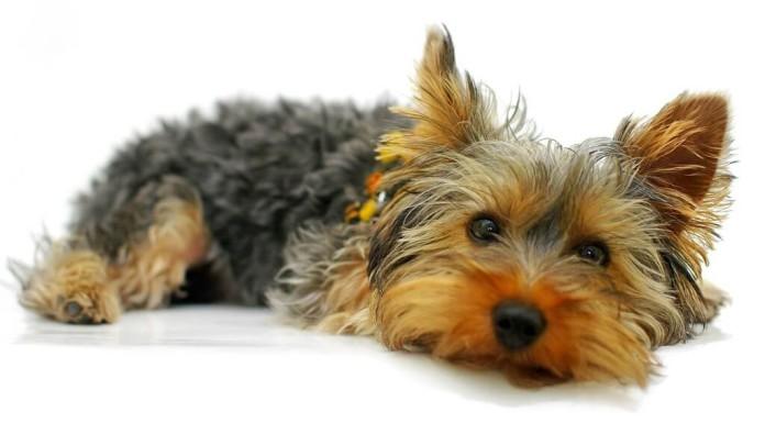 Senioren und Rentner - Hunderasse Yorkshire Terrier