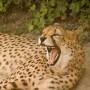 Senioren und Rentner Zoo und Tierpark Besuch – Gepard