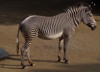 Wilhelma - Zoo - Zebra