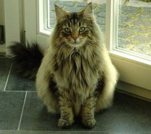 norwegische Waldkatze - Katzenrassen beim Züchter oder von Privat kaufen